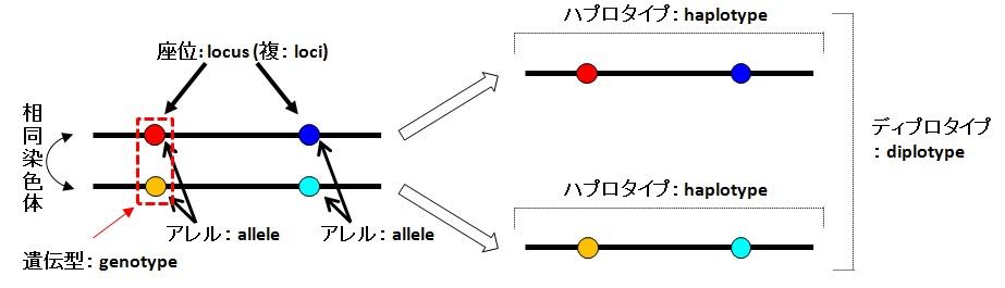 遺伝子座・ハプロタイプ